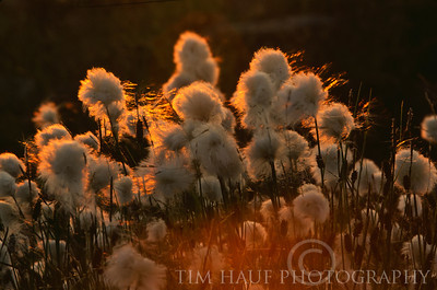 Arctic cotton-grass (Epiophorum sp.) along the Thlewiaza River, about 320 km from Hudson Bay