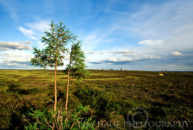 Tamarack (Larix laricina) on the tundra, along the banks of the Thlewiaza River, about 210 km from Hudson Bay