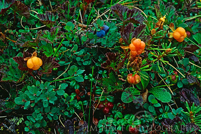 Cloudberry (Rubus chemaemorus) along the banks of the Thlewiaza River, about 115 km from Hudson Bay