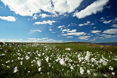 Arctic cotton-grass (Eriophorum sp.), about 330 KM from Hudson Bay