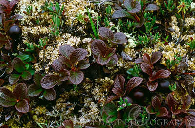 Alpine bearberry (Aretostaphylos alpina) along the banks of the Thlewiaza River, about 61 km from Hudson Bay