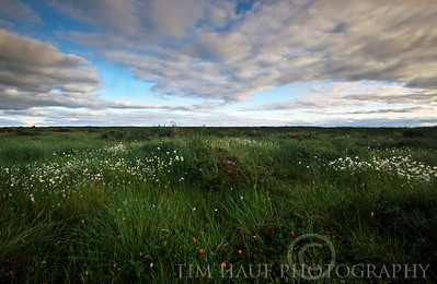 Arctic cotton-grass and cloudberries on the tundra along the banks of the Thlewiaza River, about 61 km from Hudson Bay