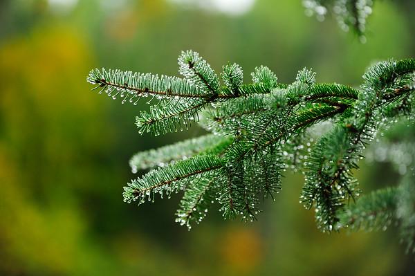 Evergreen wet
