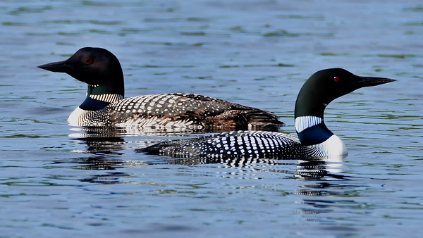 Passing Loons