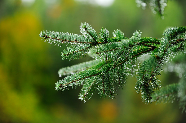 Evergreen wet