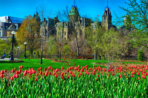 April 2019 - Red Tulips and Parliament buildings