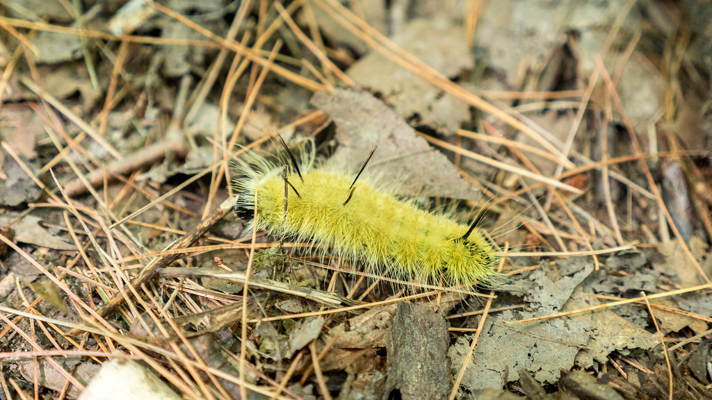Fuzzy yellow caterpillar