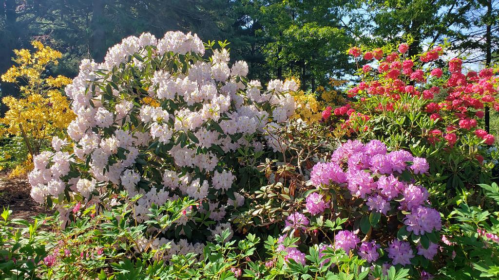 Brueckner Rhododendron Garden