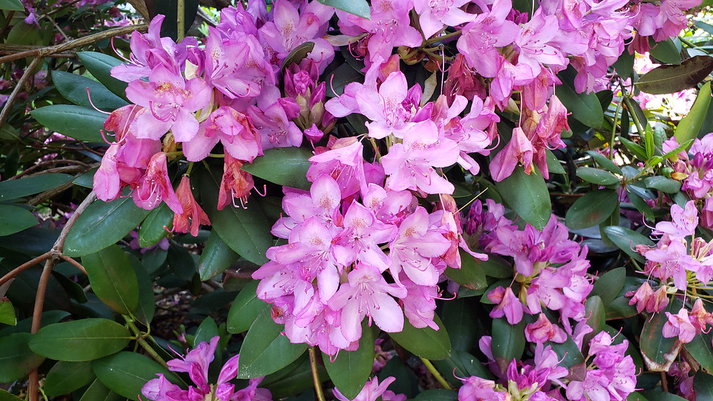 Brueckner Rhododendron Gardens Mississauga