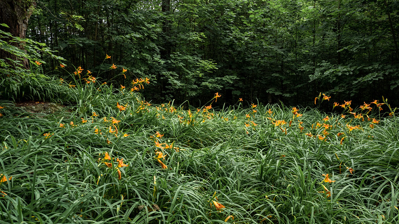 Wildflowers - lilies