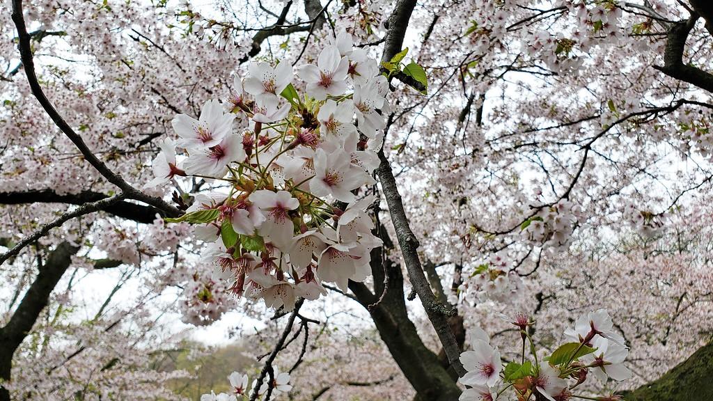 Parc des cerisiers en fleurs