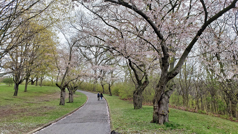 Cherry trees Toronto