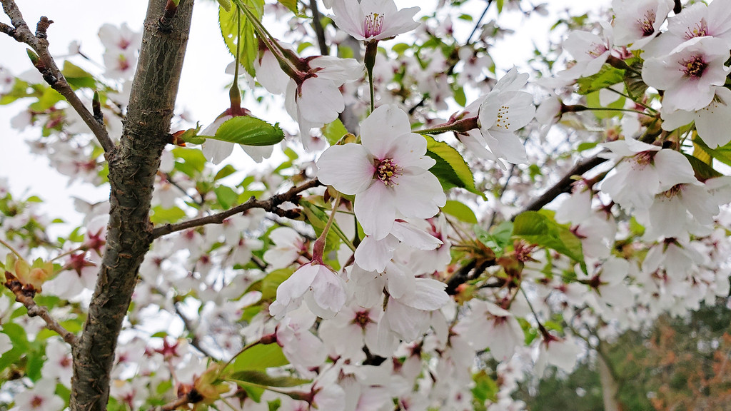 Fleurs de cerisier de Toronto