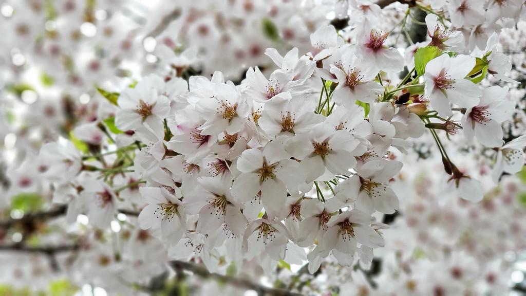 Fleurs de cerisier à High Park Toronto