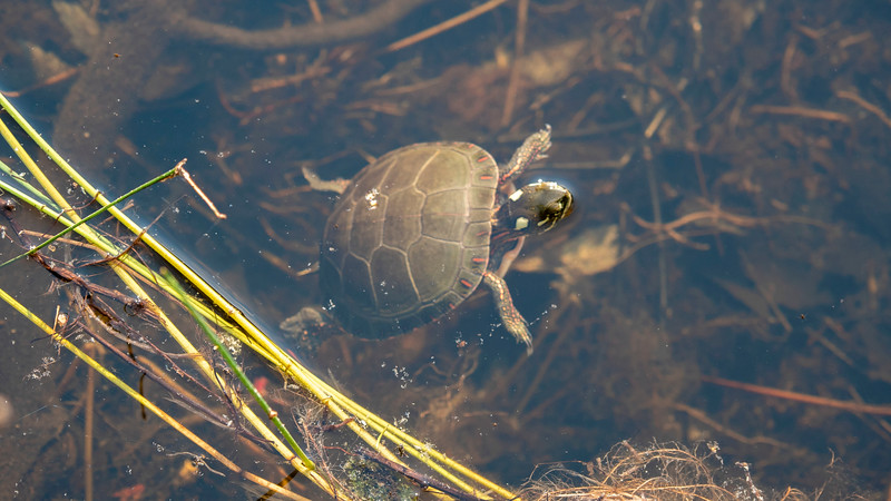 Turtle at MacGregor Point