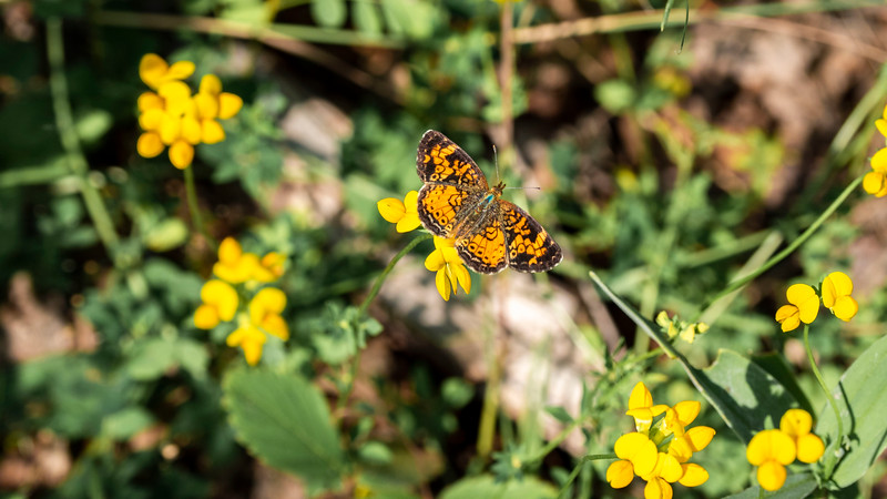 Ontario butterfly