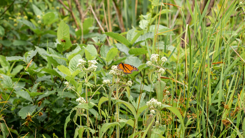 Butterflies at Ontario Parks