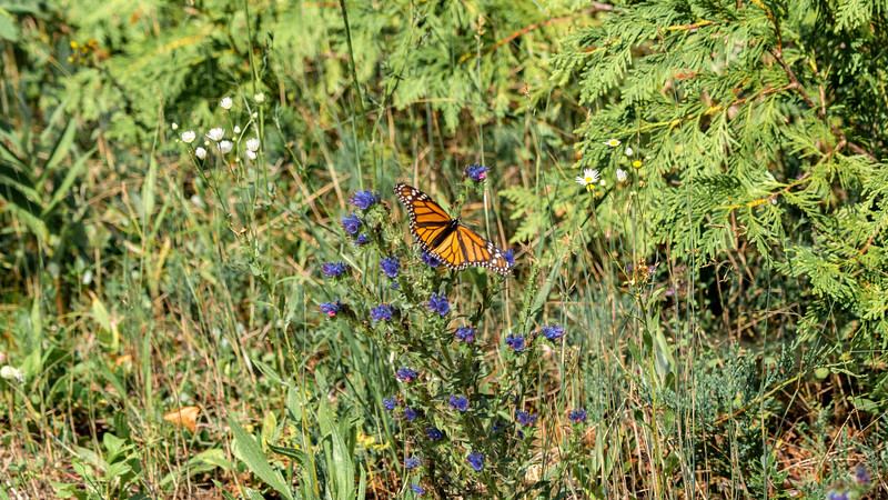 Monarch Butterfly at MacGregor Point Provincial Park