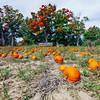 Pumpkin Patch in Ontario