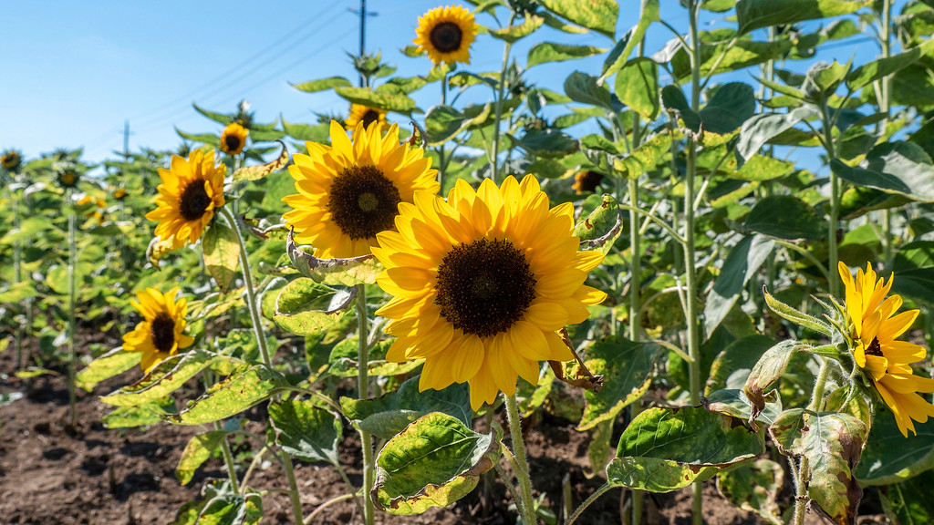 Makkink Sunflower Farm in Tillsonburg Ontario