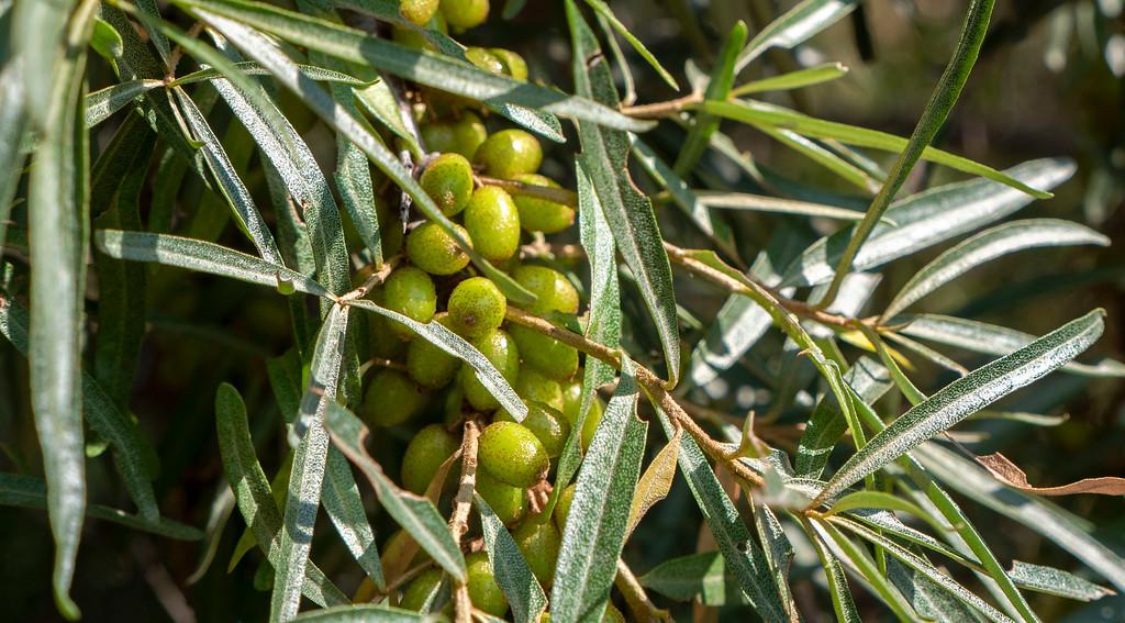 Sea Buckthorn Berries in Ontario: TNT Berries in Shakespeare / Perth County