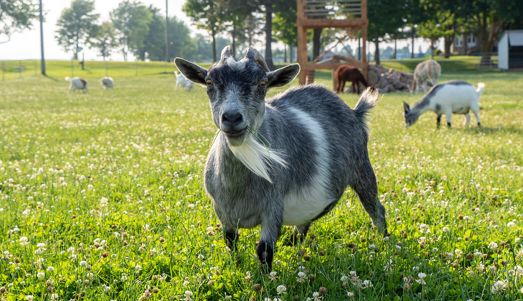 Goats on 86 in Perth County Ontario - Things to do in Perth County - #GoatsOn86