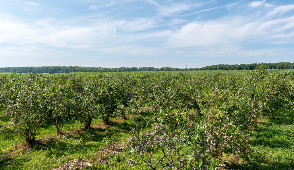 Blueberry picking in Ontario: TNT Berries in Shakespeare / Perth County