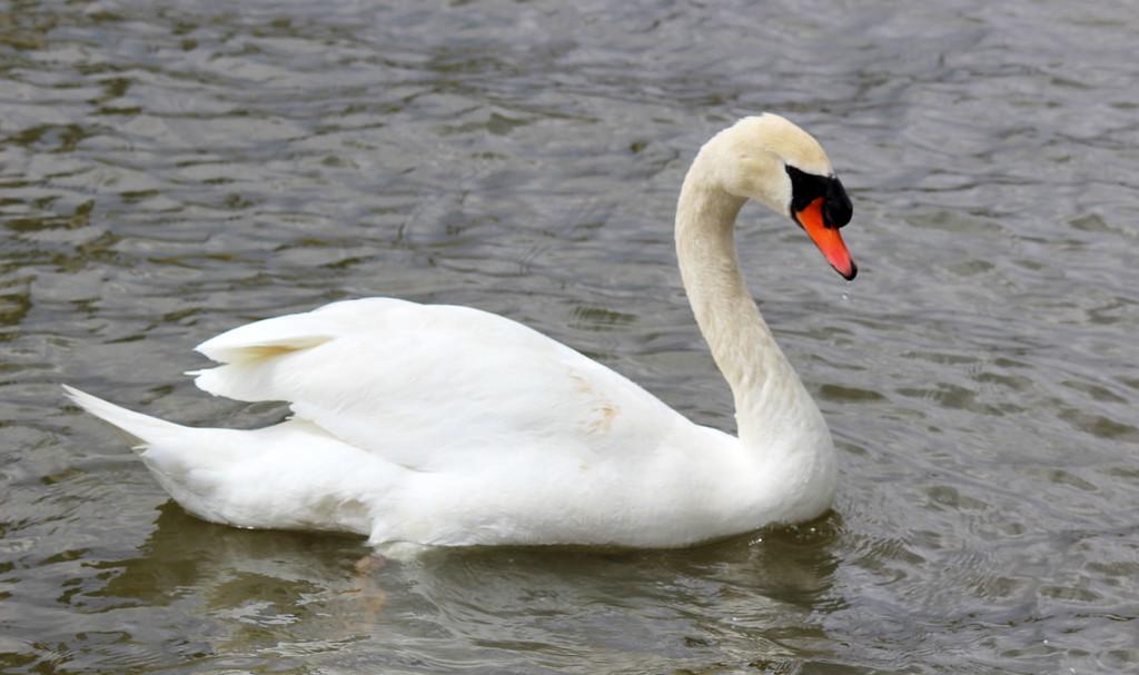 Swan at Richards Memorial Park, Port Credit