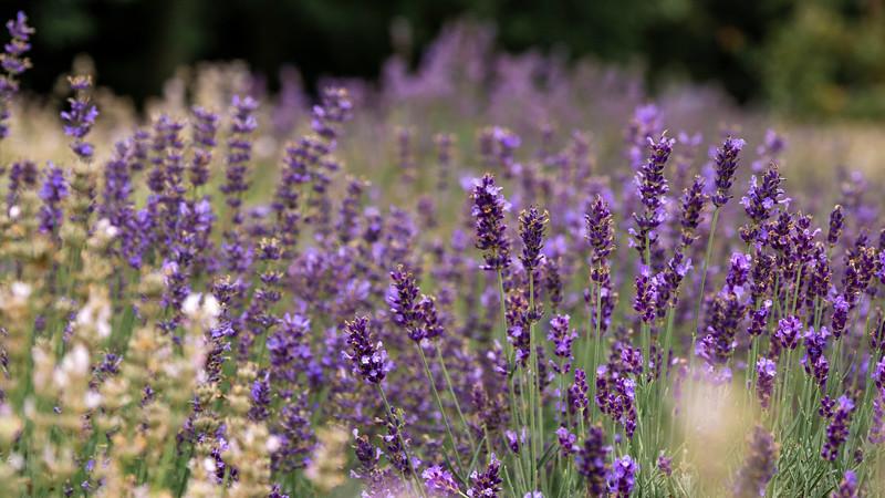 Steed & Company Lavender Farm