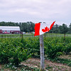 Vineyard at the Hillier Creek Estates Winery in Prince Edward County in Ontario, Canada.