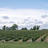 Vines at a winery in Prince Edward County in Ontario, Canada.