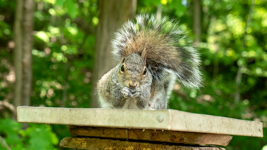 Adorable squirrel eating some bird seed, Mississauga trails