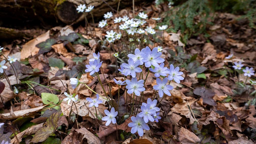 Spring wildflowers in Milton Ontario