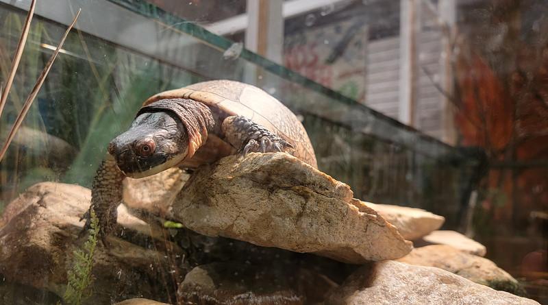 Turtle at Visitors Centre