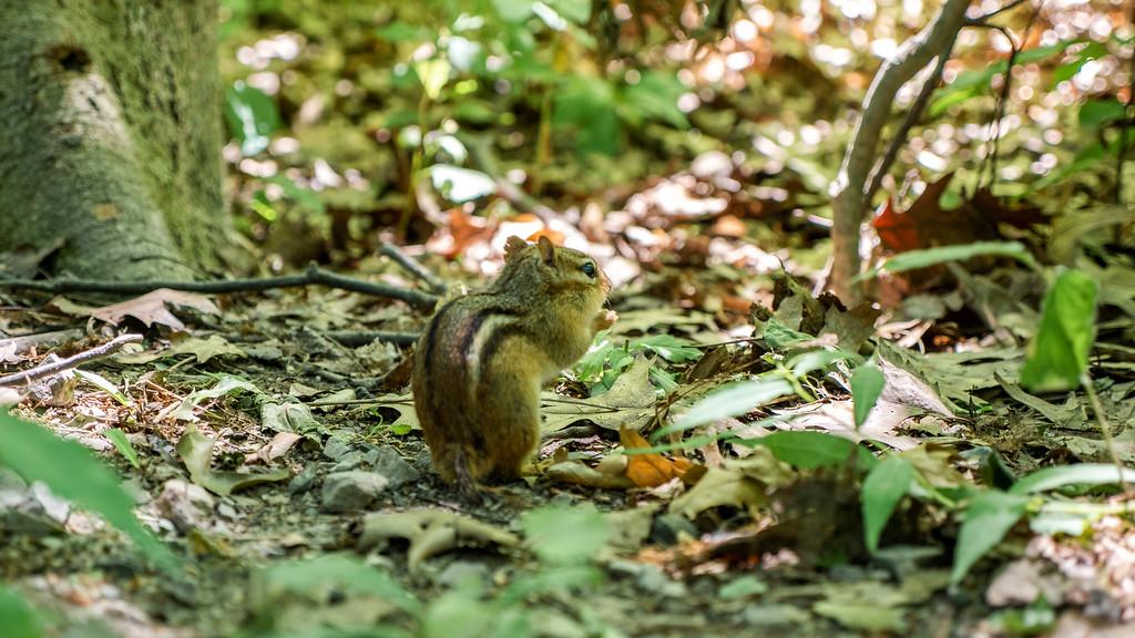 Chipmunk on the Royal Botanical Gardens trails