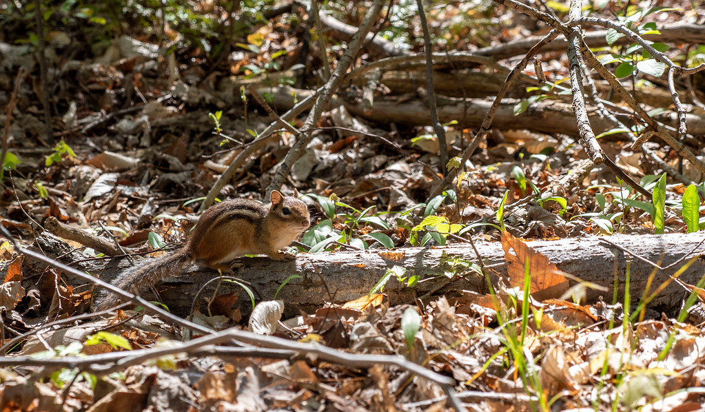 Chipmunk posing for the camera