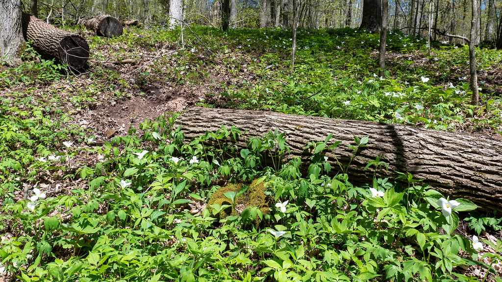 Trilliums in bloom in Ontario at Silver Creek Conservation Area