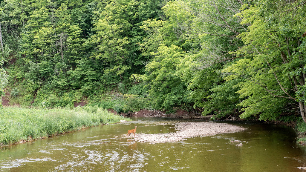 Spotting a deer in Oakville on 16 Mile Creek