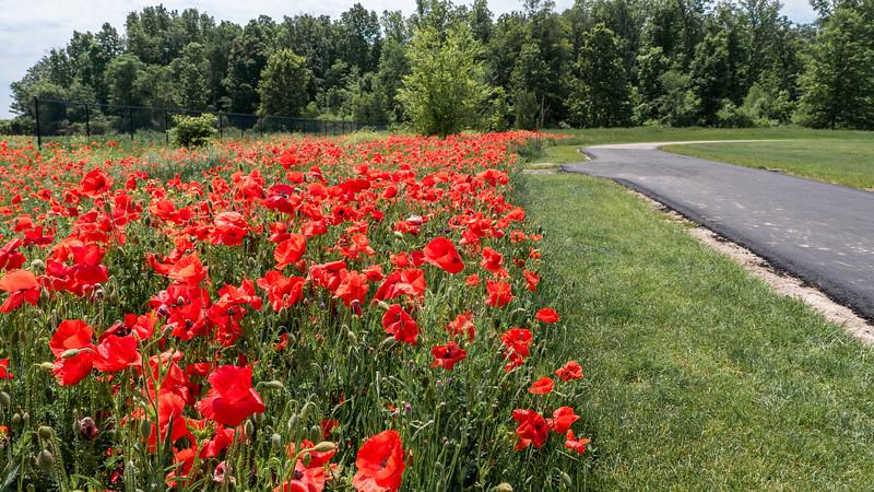 Poppies in St Thomas Ontario