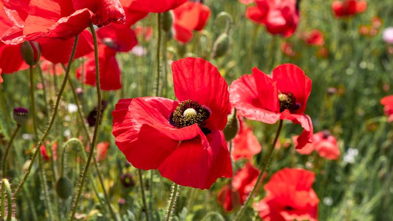 Ontario poppy field