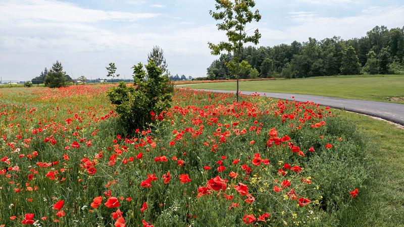 Wild poppies in Ontario