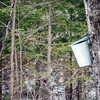 Maple Sap Harvest