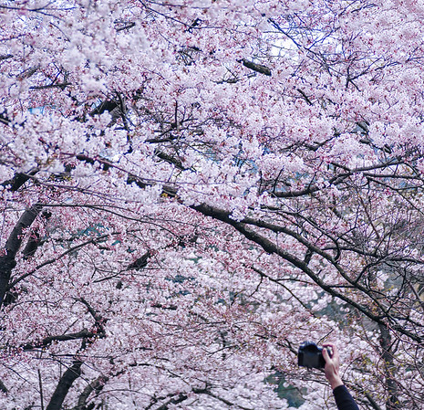 Cherry blossoms in bloom in Toronto's High Park.