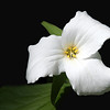 Ontario's Provincial Flower - The Trillium