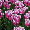 Close-up of tulips in Majors Hill Park