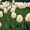 Ivory floradales