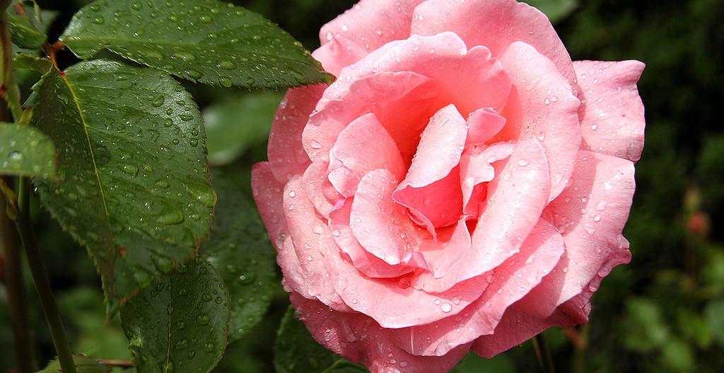 Rose after a brief rainshower in Minter Gardens, BC