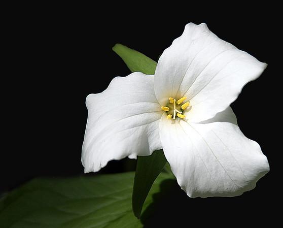 Trillium, Ontario's Provincial Flower