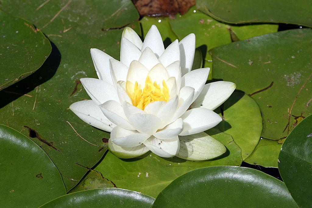 Water Lily - VanDusen Gardens, Vancouver