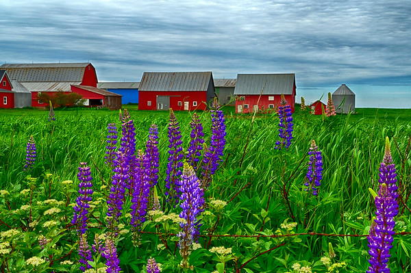 Lupins and Barn in PEI - May